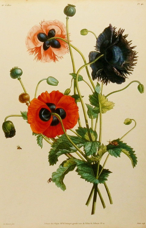 Papaver Somniferum Poppy Flower Print Wall Decor Hanging Art