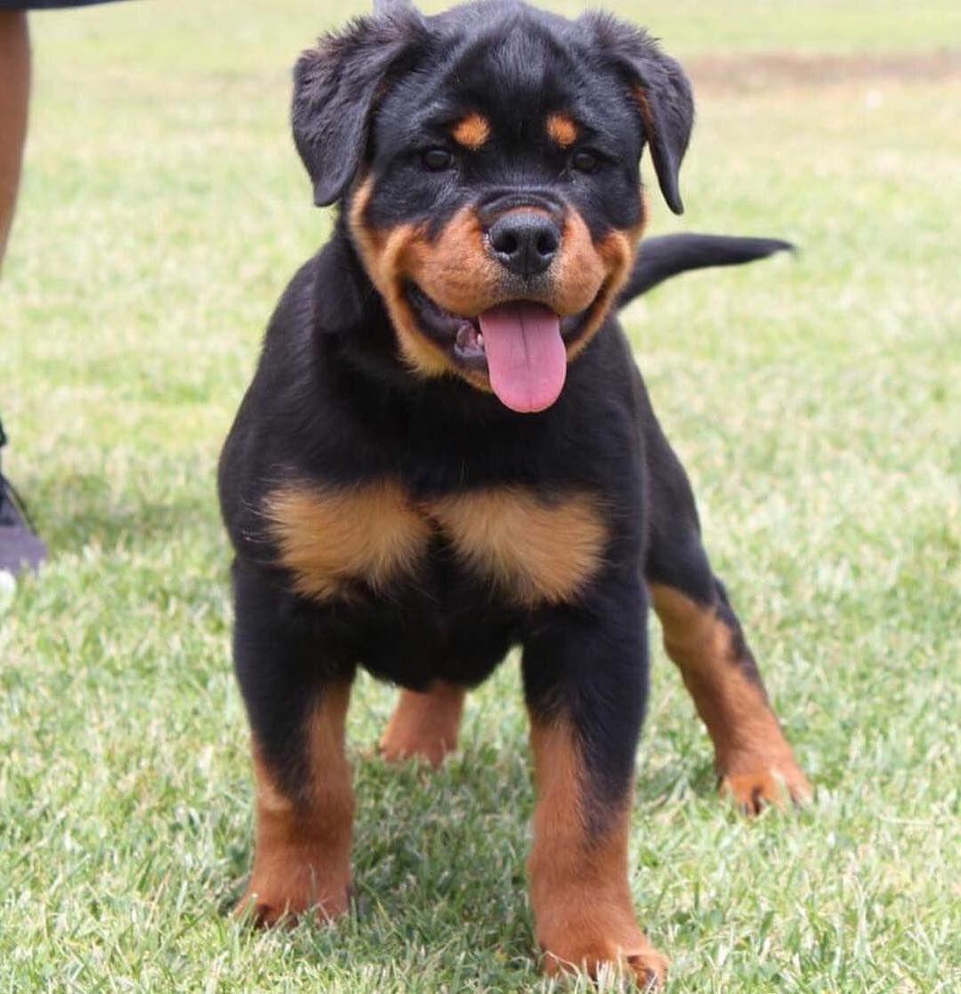 French Bulldog Puppy For Sale In North Las Vegas Nv Usa Adn 52226 On Puppyfinder Com Gender M Bulldog Puppies Bulldog Puppies For Sale French Bulldog Puppy