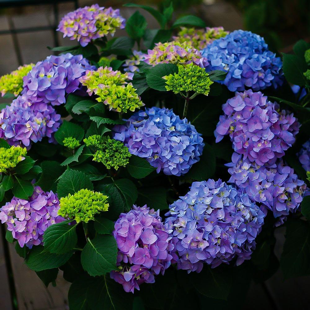 Let S Dance Rhythmic Blue Hydrangea Flower Garden Plans White Flower Farm Hydrangea Macrophylla