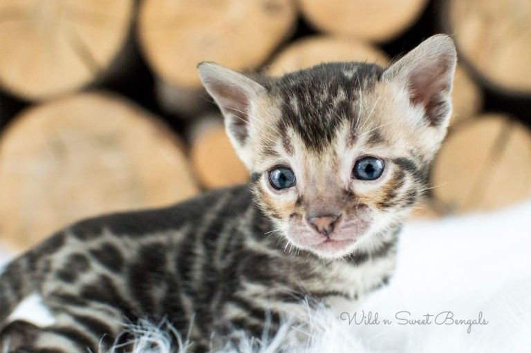 Bengal Kittens Cats For Sale Near Me Bengal Kitten Bengal Cat Bengal Kittens For Sale