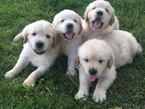 Litter Of 8 Golden Retriever Puppies For Sale In Richwood Oh Adn