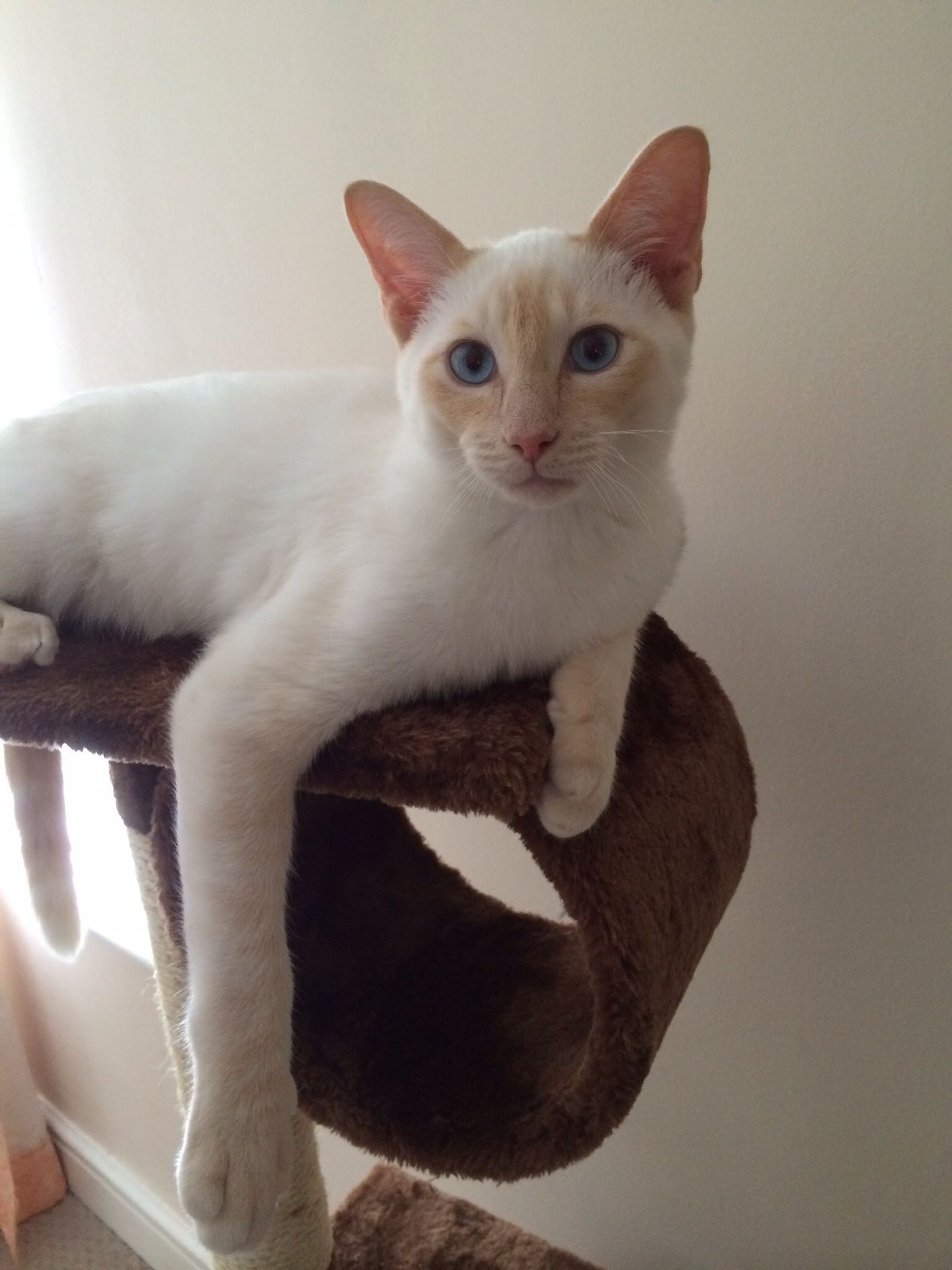 Op Flame Point Siamese This Is What Our New Kitty Will Look Like When She S Grown Siamese Cats Pretty Cats Siamese Kittens
