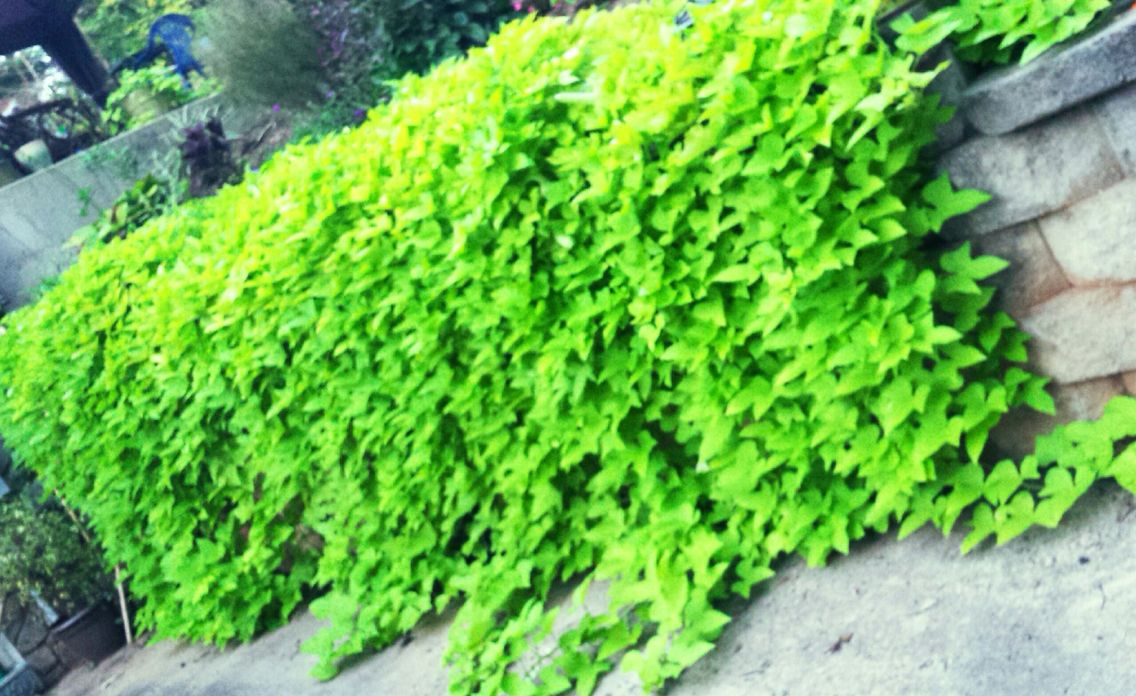 Sweet Potato Vine Cascading Over My Garden Wall This Started From Three Very Small Plants And Will Last Until Frost Garden Vines Front Yard Landscaping Plants
