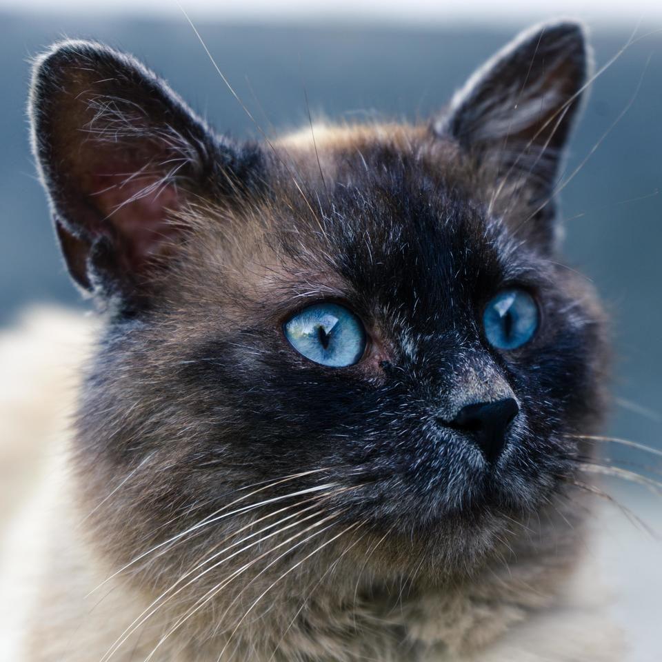 Siamese Cat Feline Pet Domesticated Animal Blue Eyes Adorable Affectionate Beautiful Beauty Black And White Video Marketing Business Feline Pet Video Marketing
