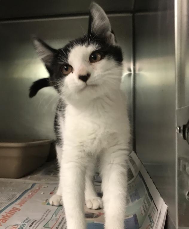 Adopt Ester On Kitten Love Kittens White Cats