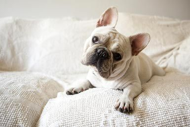 Meet The Lovable French Bulldog French Bulldog Breed Cute Dogs
