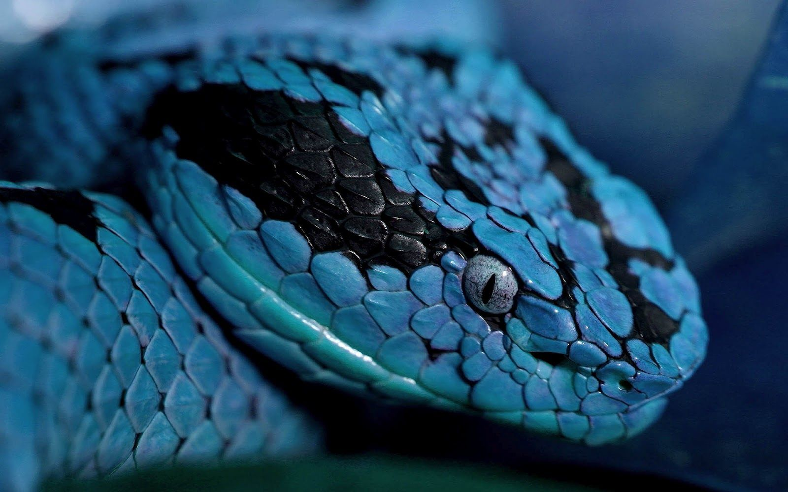 pics of snakes Close up photo of a blue snake HD