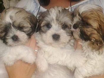 Gorgeous Teddybear Pups Shih Tzu X Maltese Com Imagens