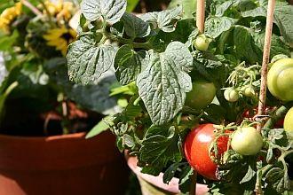 was ist ausgeizen von tomaten was sind geiztriebe welche. Black Bedroom Furniture Sets. Home Design Ideas