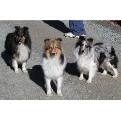 Calcurt Shelties Bred By Kit Curtis In Damascus Pa 8827 Tri