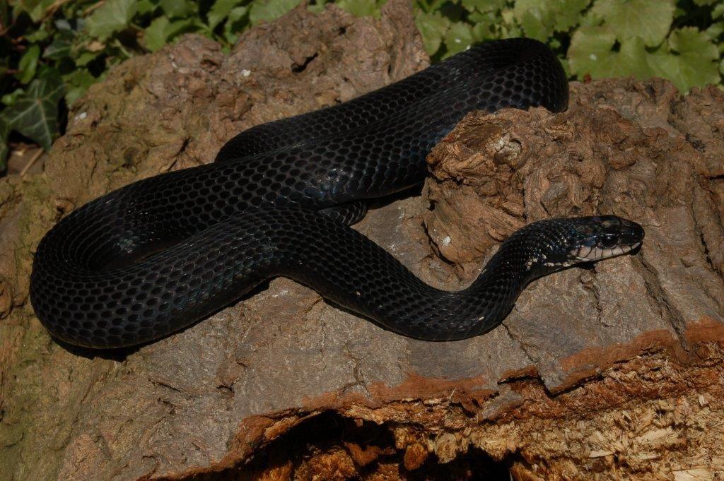 Melanistic Eastern Garter Snake Melanistic Melanism Black And White Colour