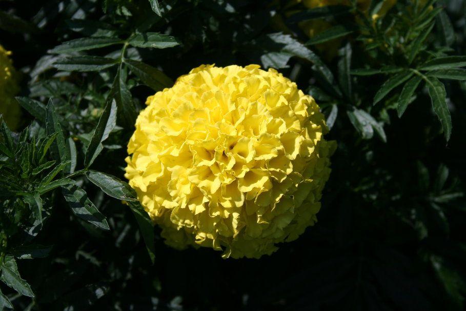 Flor de dalia amarilla. Wallpaper.