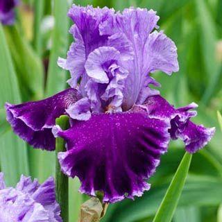 Louisas song german iris blumen und schmetterlinge pinterest louisas song german iris mightylinksfo Images