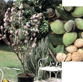 planter un amandier en pot amandier nain jardinage pinterest nains pots et prince. Black Bedroom Furniture Sets. Home Design Ideas