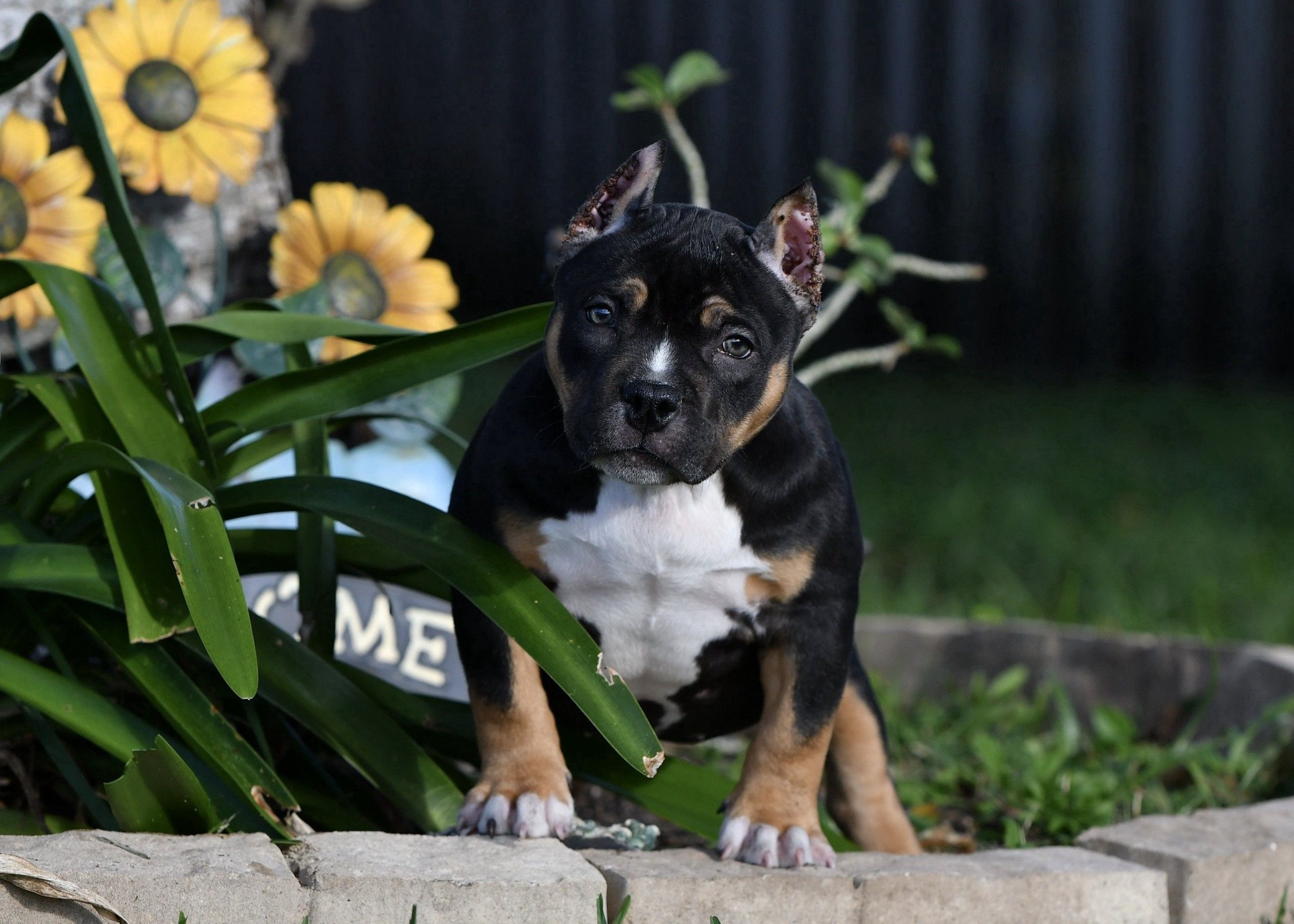 The Extreme Pocket Bully Puppies Of Venomline American Bully