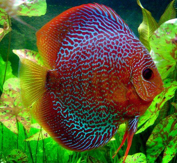 Leopard Discus Discus Fish Aquarium Fish Discus Aquarium