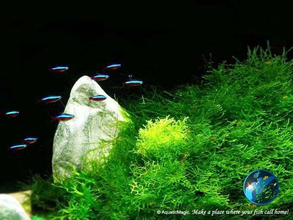 java moss live aquatic plant brackish water aquatic