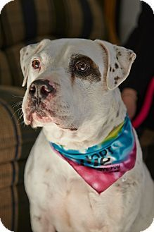 American Bulldog American Staffordshire Terrier Mix Dog For