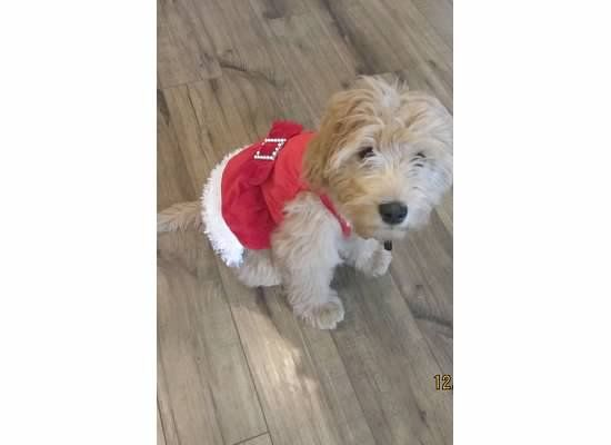Mini Golden Doodle, 14 weeks, in her Christmas Dress:  Daisy