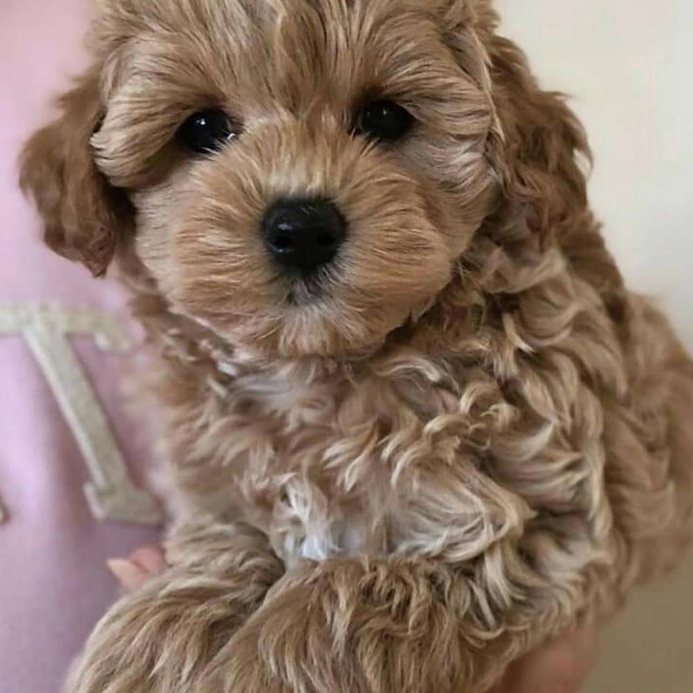 518 405 5003 Maltipoo Puppy Dog Breeder Maltese Puppy