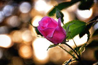 Banco De Imagenes Fotos Y Postales 40 Imagenes Bonitas Para Compartir En Facebook Gratis Rose Flowers Rare Flowers