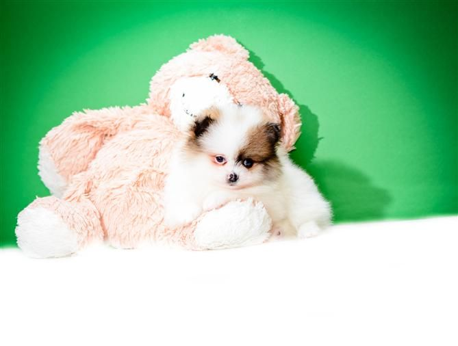 Pin By Affordable Pups On Pomeranian Puppies Pinterest