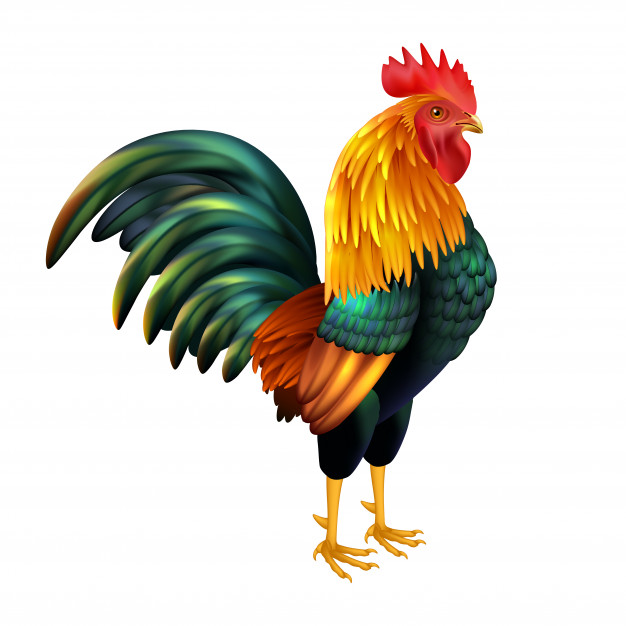 Colorful realistic rooster Vector | Free Download