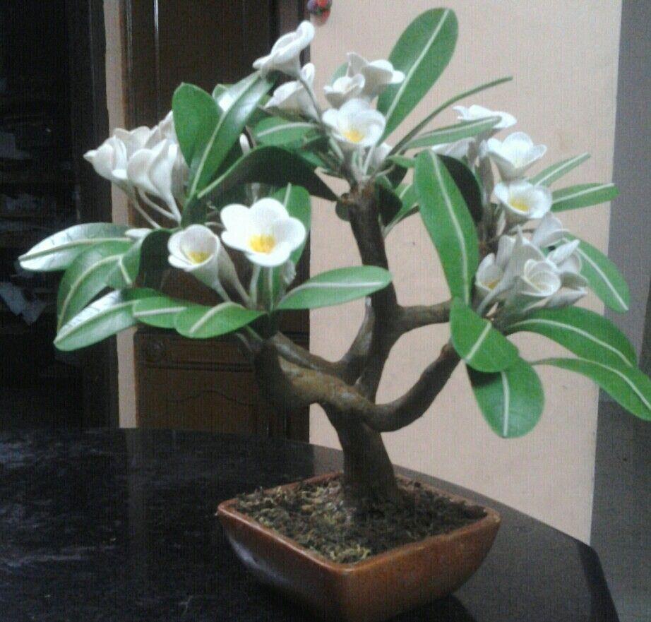 This Is Cold Porcelain Plumeria Bonsai Also Called As Frangipani Cold Frame Gardening Plants Cold Frame Diy