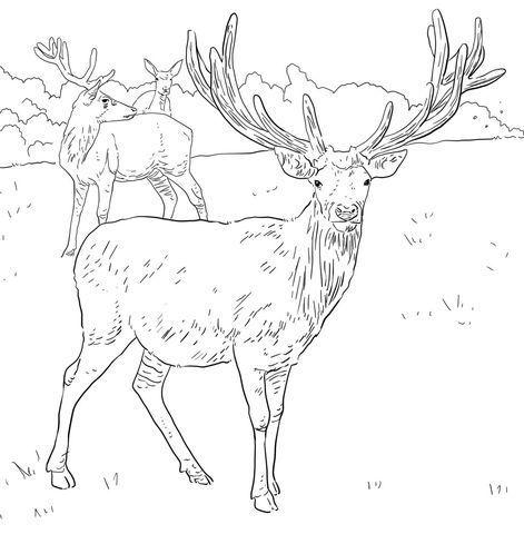 Western European Red Deer Coloring page #