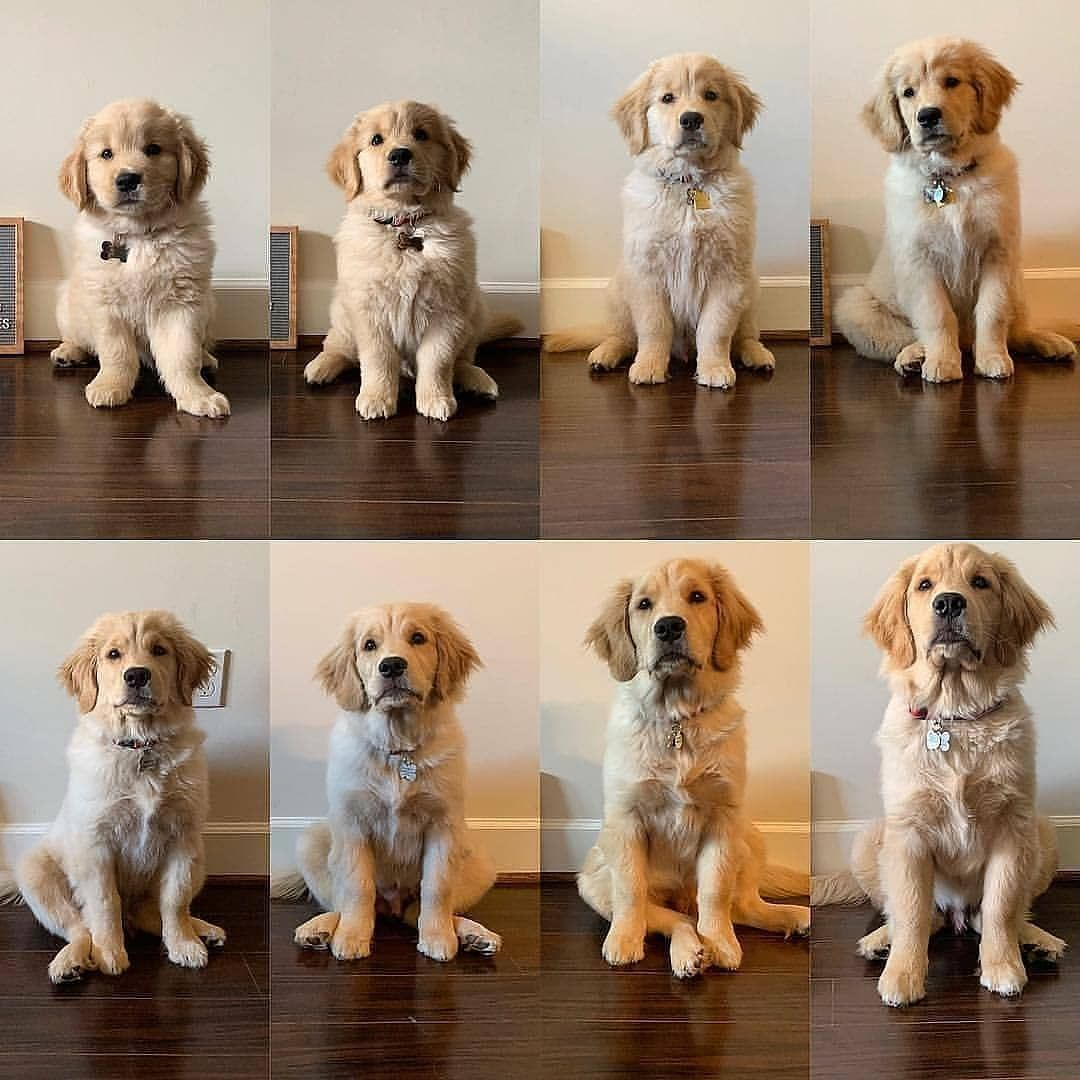 Why Do They Grow Up So Fast In 2020 Big Fluffy Dogs Golden Retriever Vs Labrador Golden Retriever Facts