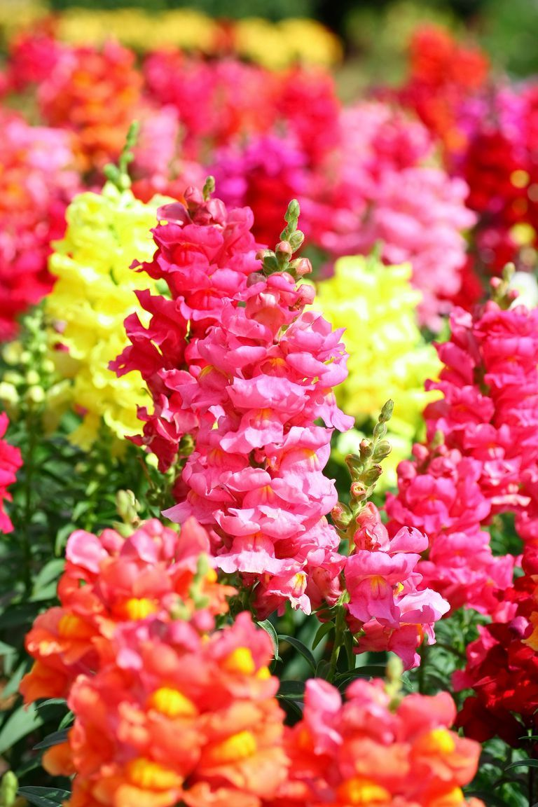 The 15 best annual flowers you need to plant in your yard bright snapdragons are bold easy to grow annual flowers that will make summer even izmirmasajfo