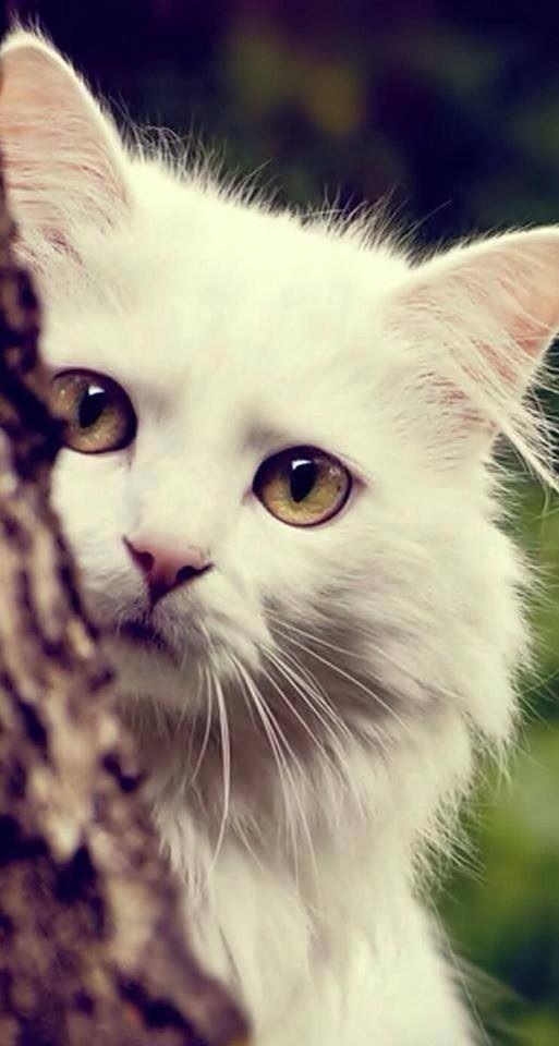 Peeking Around - Beautiful White #Cat Photography