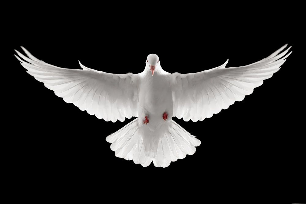 The Holy Spirit Is No Naive Powerless Dove Pentecost Sunday White Dove Tattoos Dove Images Dove Painting