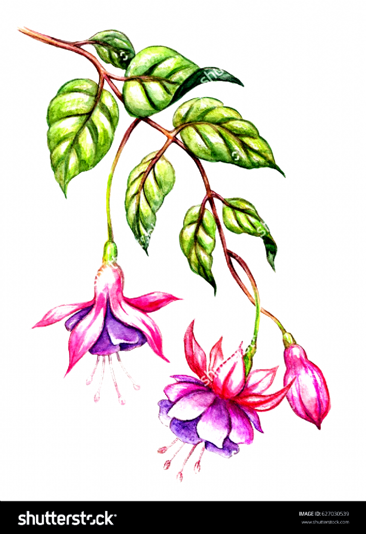 Watercolor Floral Botanical Illustration Green Leaves Wild Garden Pink Fuchsia Flowers Is In 2020 Flower Drawing Watercolor Flowers Paintings Botanical Illustration