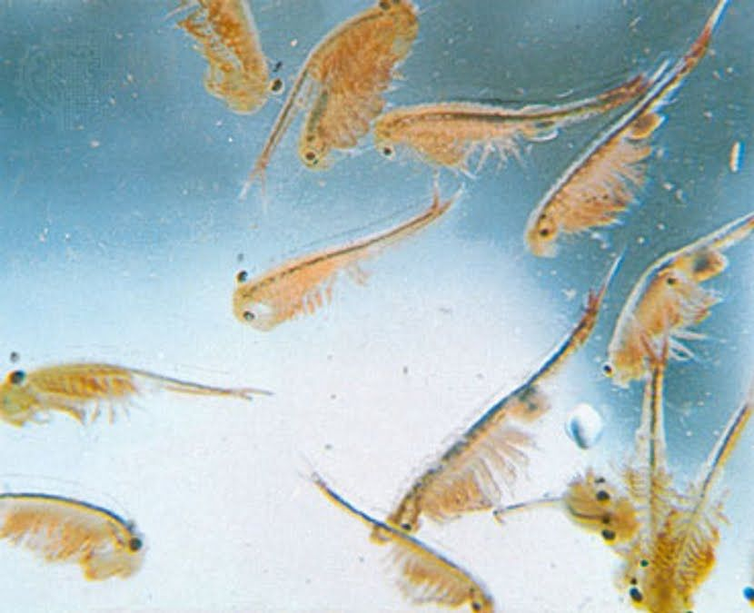 The Real Sea Monkeys Love These Little Guys So Relaxing To Watch Sea Monkeys Pets Cool Pets