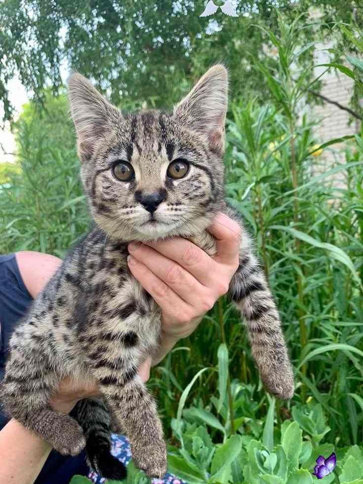 Grey f1 savannah breeder Savannah cat Serval F1 Savannah