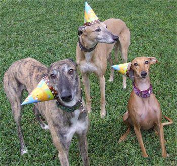 Greyhound Adoption League Of Texas Inc Greyhound Greyhound Pictures Greyhound Adoption