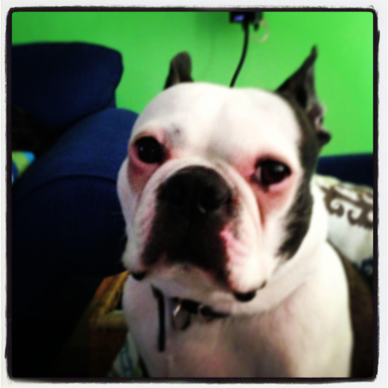 Boston terrier. Elliott.