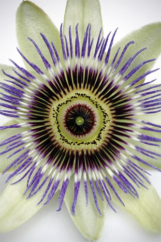 386057390 Passion flower - natural art in the garden We have these in the yard. The  vines go everywhere-lol! The fruit is delish. We have to pollinate them  ourselves ...