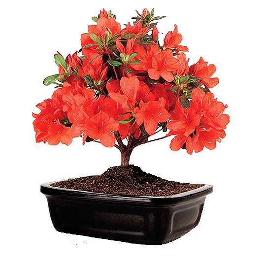 Eplery Azalea Bonsai Tree In 2020 Azaleas Transparent Flowers Bonsai For Sale