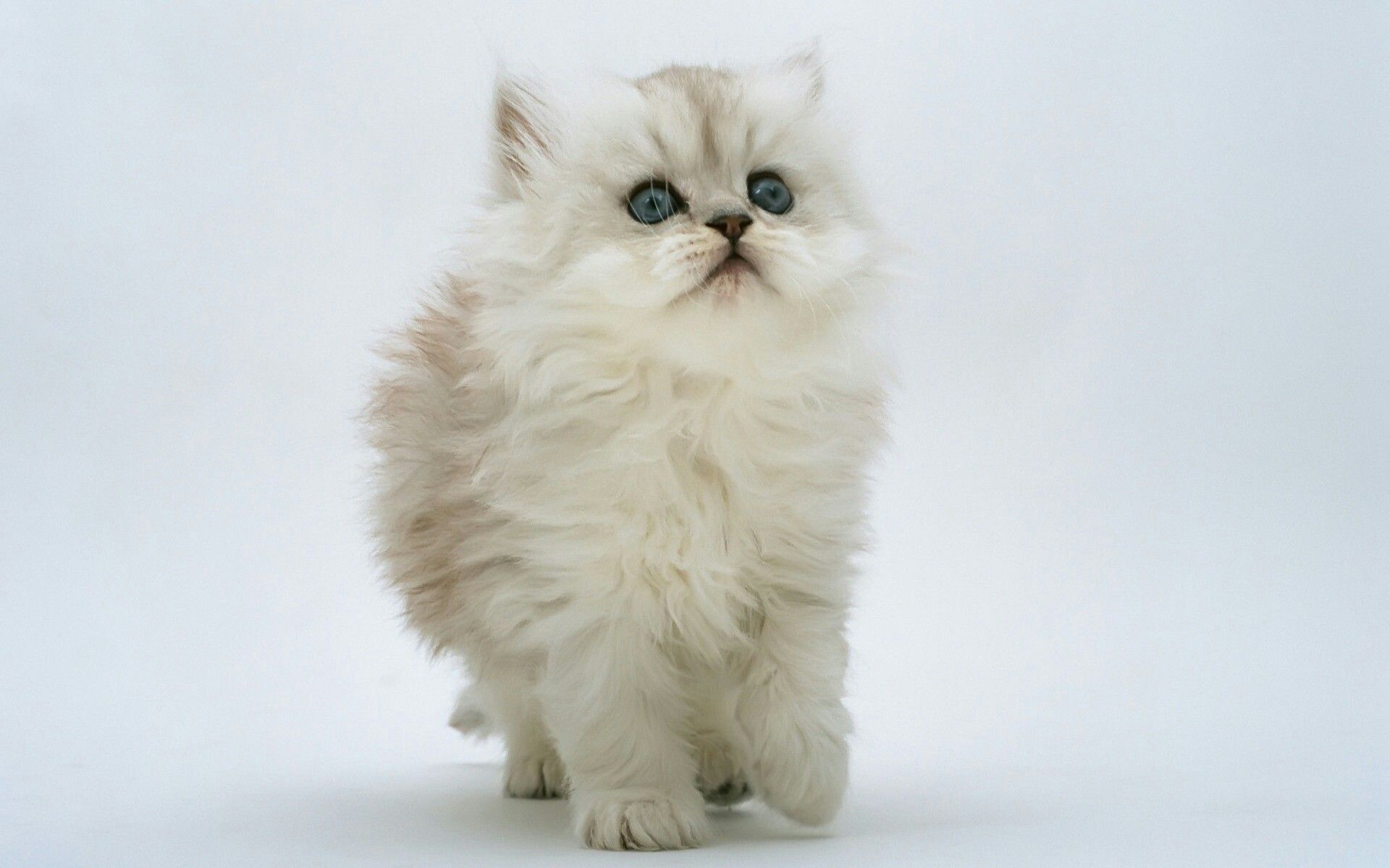 Pin By Veronique On Cell Scteen Kittens Cutest White Fluffy Kittens Kitten Wallpaper