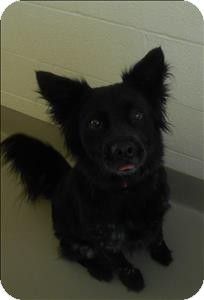 Duluth Mn Meet Monique A Gorgeous Black Border Collie Blue Heeler Mix Who Is About 2 1 2 Yrs Old Sh Australian Cattle Dog Mix Cattle Dogs Mix Dog Adoption