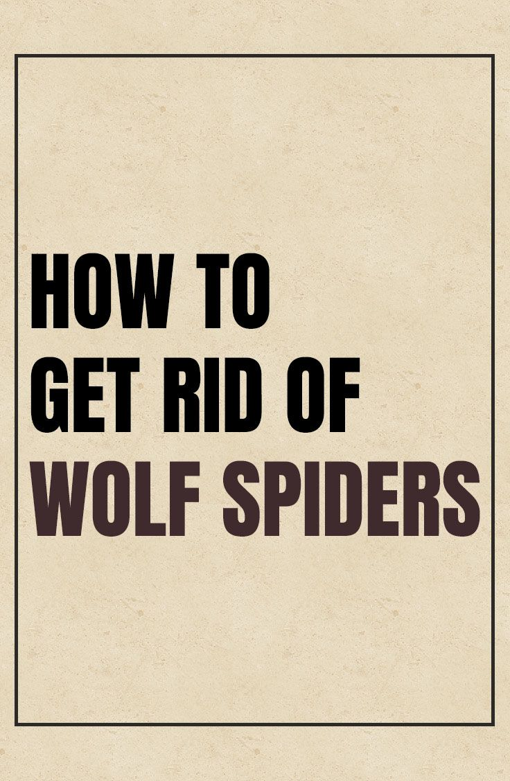 How to get rid of wolf spiders wolf spider how to get