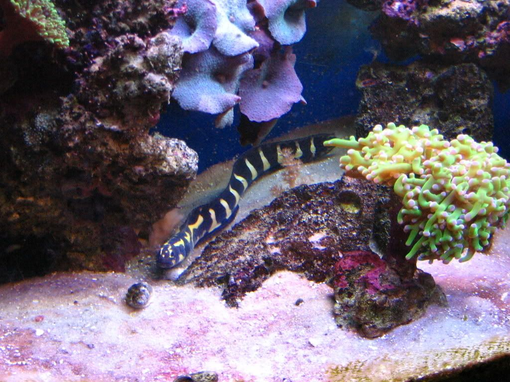 Engineer goby this thing is growing in my tank i 39 m not for Saltwater tank fish