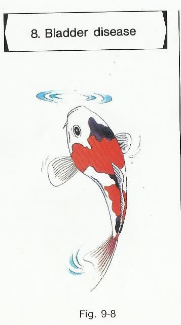 Swim Bladder Disease Koi Fish For Sale Koi Fish Japanese Koi