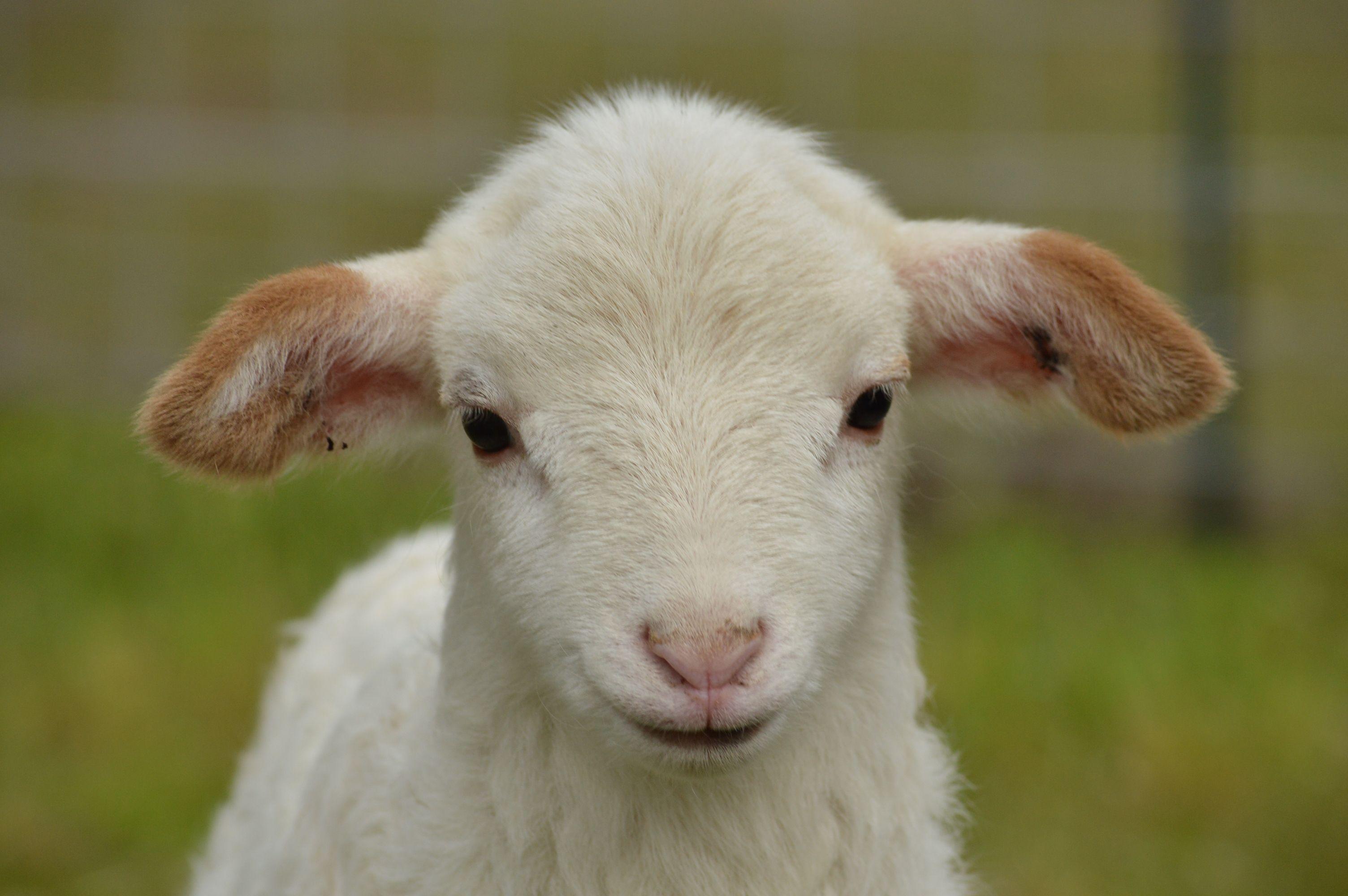 katahdin lamb | Sheep | Katahdin sheep, Cute goats, Sheep, lamb