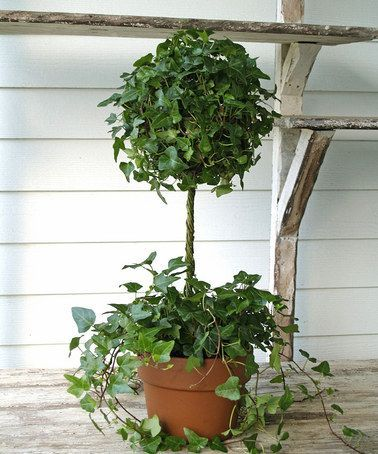 Take a look at this Small Ivy Ball Topiary by Schubert Nursery on #zulily ...