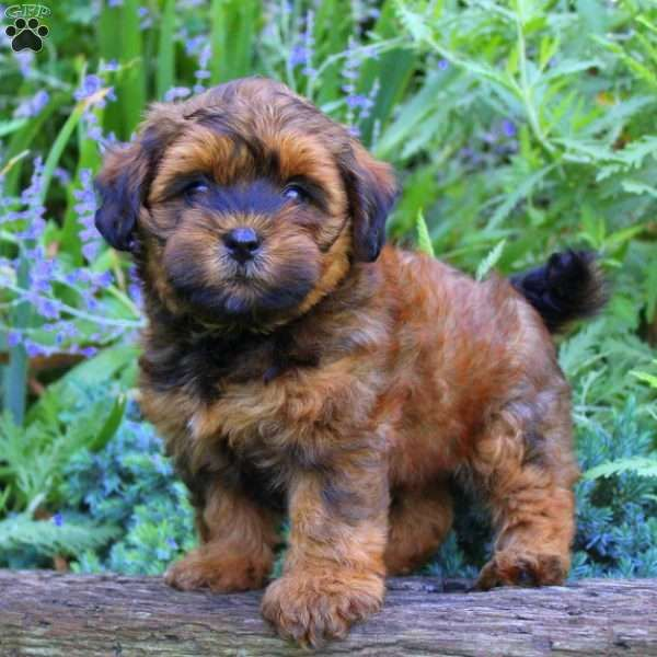 Honey Greenfield Puppies Cute Fluffy Puppies Puppies Fluffy Puppies