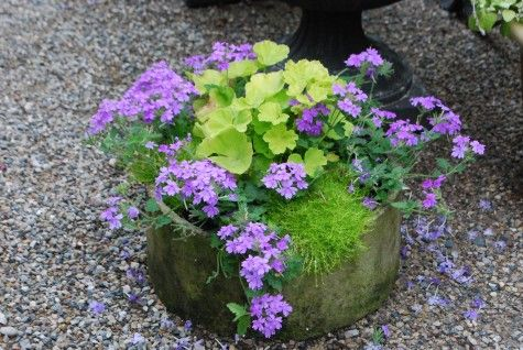 Persian Queen geraniums have brilliantly lime green leaves; I value this about them more than their hot pink flowers.  The lavender trailing verbena is a cool and striking foil for both the Geranium, and the scotch moss (sagina subulata aurea). Purple and lime green is a great place to start scheming.