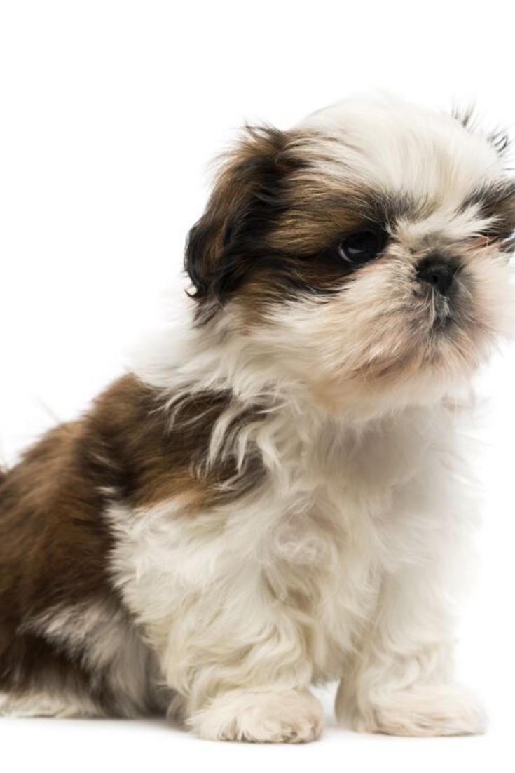 Shih Tzu Puppy Shihtzu Shih Tzu Puppy Shih Tzu Puppies